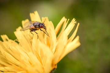 Macro shot of a fly sitting on a yellow flower, summer outdoors.