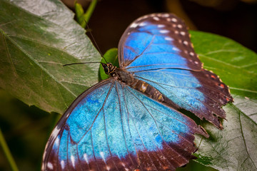 Close-up of a large beautiful blue butterfly sitting on green leafs.