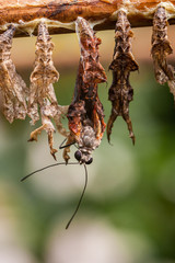Close-up macro shot of a butterfly emerging from its cocoon surroundet by empty cocoons.