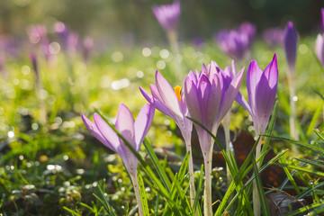 Blühende Krokusse auf grüner Wiese im Frühling