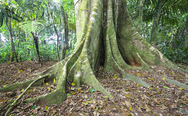 Massive buttress roots at the base of a tree in Costa Rica.