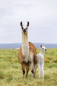 A baby llama with it's mother along the border between Chile and Bolivia