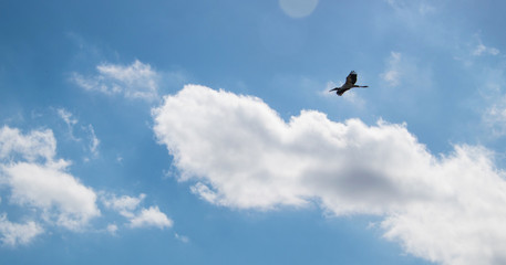 Beautiful Australian Ibis in flight