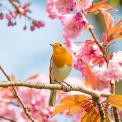 Robin (Erithacus rubecula), bird on a cherry tree