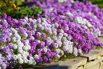 In de dag Lilac White, lilac and violet flowers alyssum on flowerbed in summer garden.