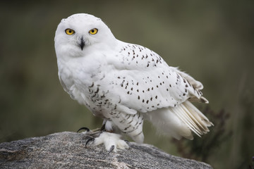 Tuinposter Uil Snowy Owl