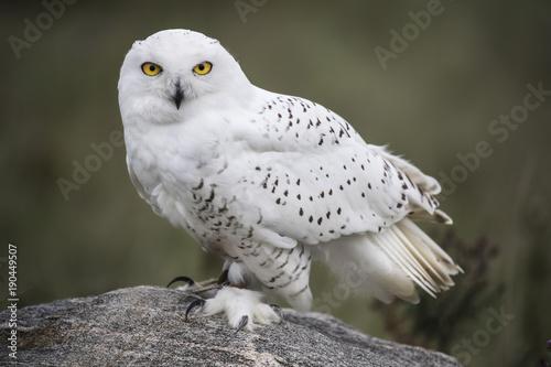 Wall mural Snowy Owl