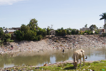cow grazing in grass in front of river and trash