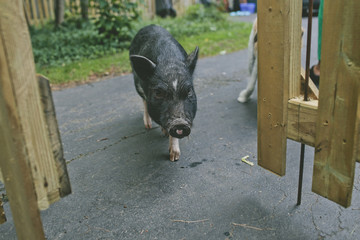 High angle view of pig walking on road