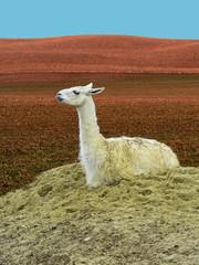 Cute Llama (Lama Glama) Sitting