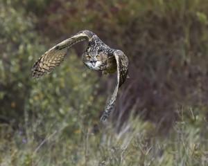 Fototapete - Turkmenian Eagle Owl