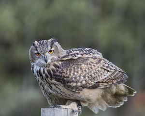 Wall Mural - Turkmenian Eagle Owl