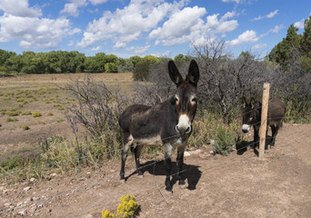 Brown Burros Along Wire Fence on a Southwest Fall Day