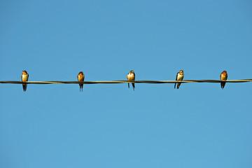 birds in a row on a telephone line against blue sky