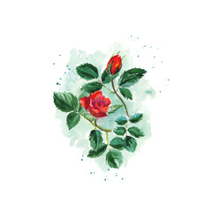 Watercolor sketch of a bush scarlet rose with leaves