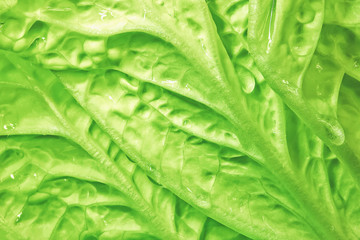 fresh green cabbage background