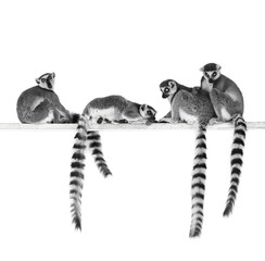 Black and white image of ring-tailed lemurs isolated on white background