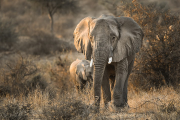 Elefantenkuh mit Kalb im Abendlicht