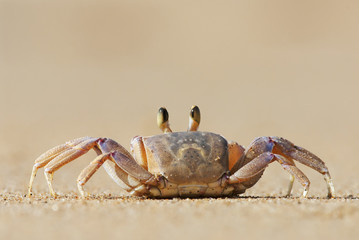 Alert Ghost Crab, Ocypode ryderi, Indian Ocean coast, iSimangaliso Wetland Park, South Africa