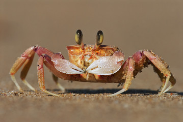 Alert Ghost Crab, Ocypode ryderi, Indian Ocean coast, iSimangaliso Wetland Park, South Africa