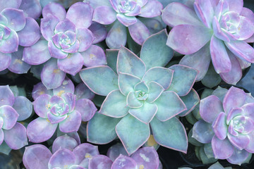 Pink Succulent flowerbeds plant in the garden. This is a species of cactus family that is resistant to extreme weather and is decorated in the home