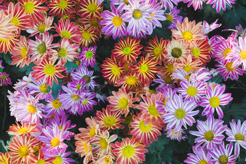 colorful small daisy flower in a garden.