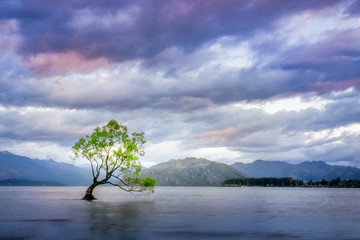 Sunset at Wanaka Lake with a lone willow tree just of the shore of the lake. New Zealand, South Island