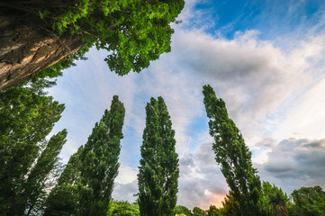 Low angle view of a group of poplar trees at sunset in Wanaka, New Zealand, South Island.