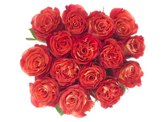 bright red roses on a white background