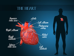 cardiocirculatory system