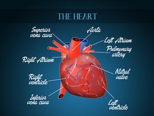cardiocirculatory system diagram