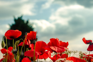 Flowering Poppies And Blue Sky