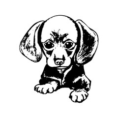 The puppy Dachshund graphics