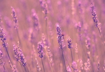 Tuinposter Lavendel Vintage soft photo of lavender field