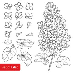 Vector set with outline Lilac or Syringa flower, ornate leaves and bunch in black isolated on white background. Blossoming garden plant Lilac in contour style for spring design and coloring book.
