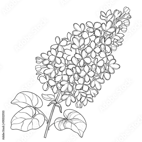 vector branch with outline lilac or syringa flower bunch and ornate