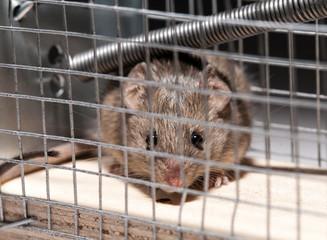 mouse inside mousetrap