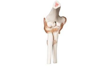 Orthopädie Skelett vom Ellenbogengelenk mit Bändern Oberarmknochen, Elle und Speiche Innenansicht