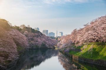 View of massive cherry blossoming in Tokyo, Japan as background. Photoed at Chidorigafuchi, Tokyo, Japan.