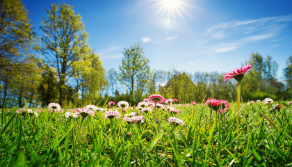 Wall Mural - Meadow with lots of white and pink spring daisy flowers in sunny day. Nature landscape in estonia in early summer