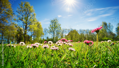 Wall mural Meadow with lots of white and pink spring daisy flowers in sunny day. Nature landscape in estonia in early summer
