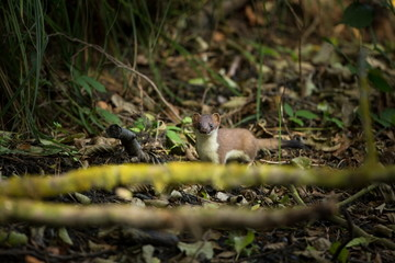 Mustela. Least Weasel seek drier places in the landscape. Distribution area covers most of Europe (missing only in Ireland and Iceland) and Asia, and North Africa.