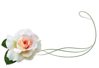 Realistic white rose, border.
