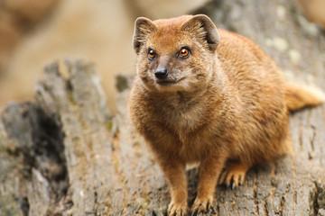 Fototapete - mangusta fox on the trunk