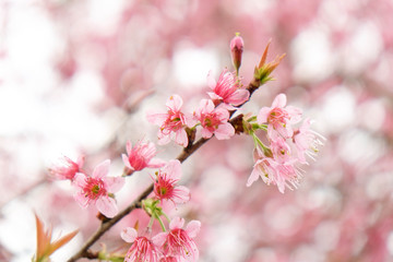 Close up of beautiful pink cherry blossom in winter ,Thai sakura at Chaing Mai