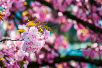 delicate pink flowers of blossomed Japanese cherry trees