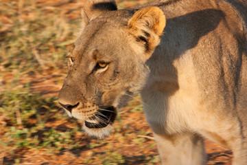 Walking Lioness Face detail