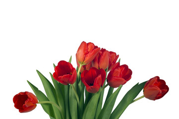 Red bright tulips isolated on white background