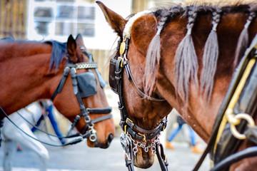 Big brown horses in Spain