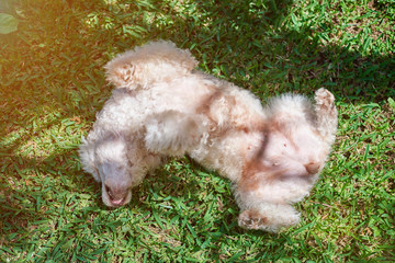 White poodle dog playing